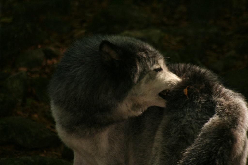 maison des loups